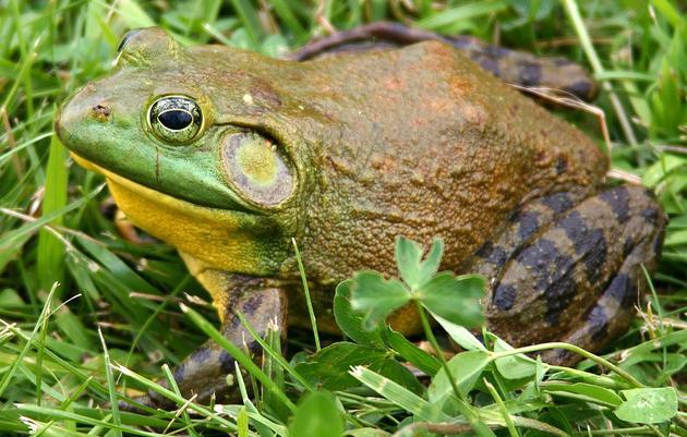 Frog Song Chorus Game