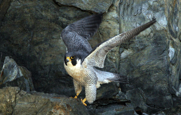 Peregrine Falcon Monitoring and Management Project