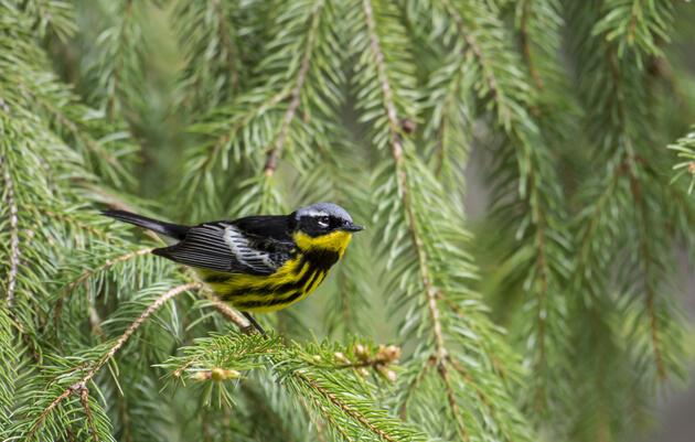 Forest Birds: Conservation and Habitat Management