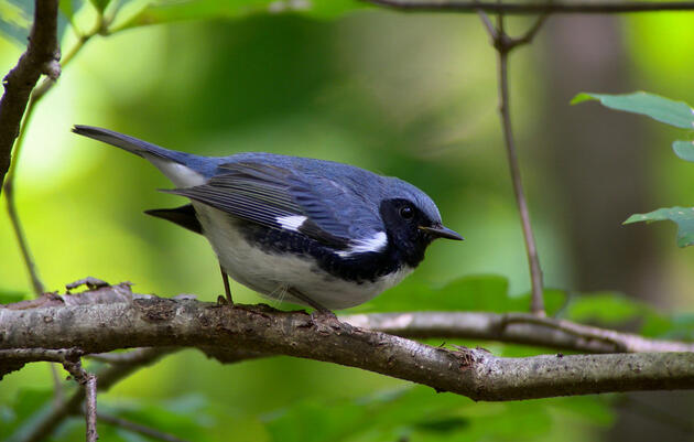 Forestry, Birds and Recreation at the Hinesburg Town Forest