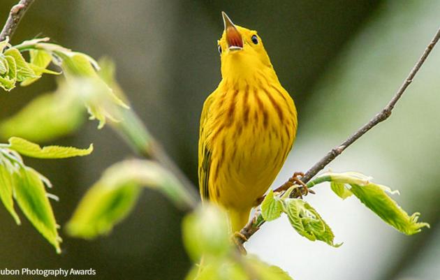 The Wonders of Wood Warblers
