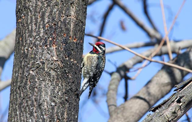 Mud Season (Maple Season) Bird Monitoring Walk
