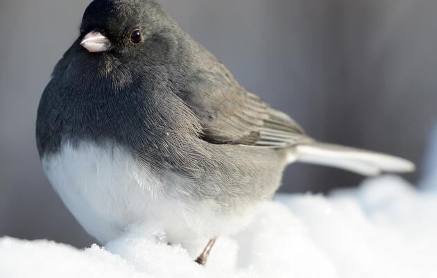 Birding at Home: Dark-Eyed Junco