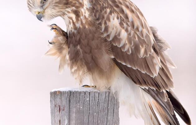 Birding at Home: Winter Hawks