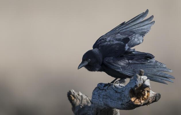 Birding at Home: Ciara & The Crows
