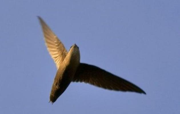 Chimney Swift Recovery