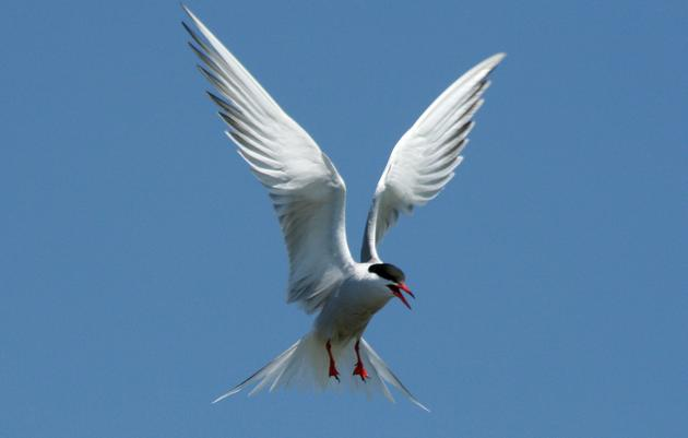 Common Tern Recovery Project