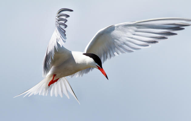 Helping the Common Tern Take Flight in Vermont