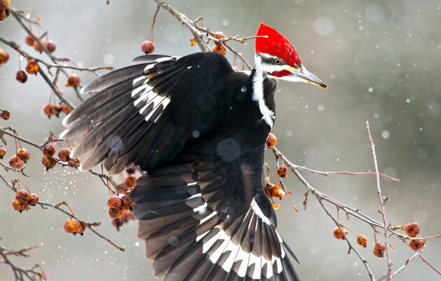 Birding at Home: Woodpeckers