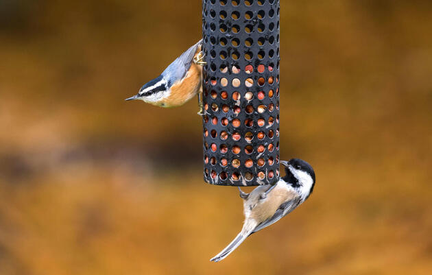Birding at Home: The Chickadee Crew