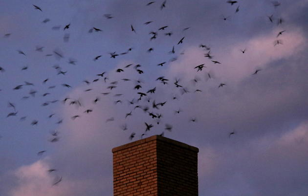 10 Easy Steps for Submitting Chimney Swift Surveys to Ebird