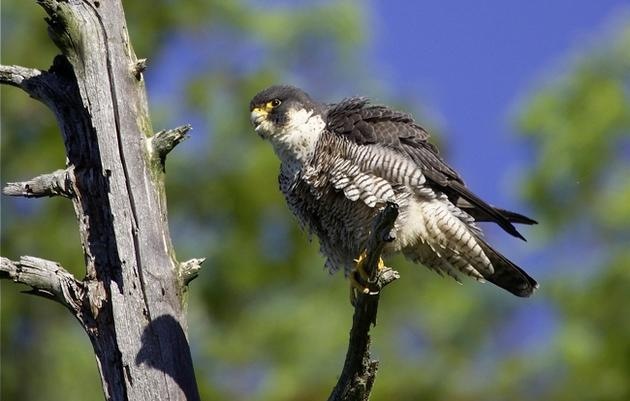 Vermont's Peregrine Falcon Population Completes Another Successful Breeding Season