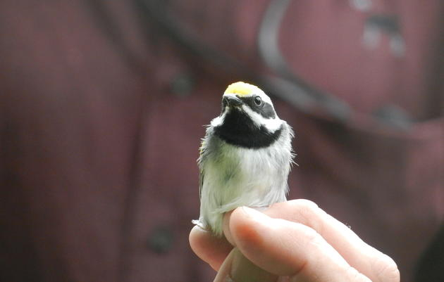 Golden-winged Warbler Conservation
