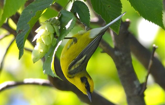 Additional Resources - Champlain Valley Bird Initiative