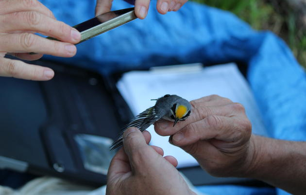 Golden-winged Warbler Geolocation Project