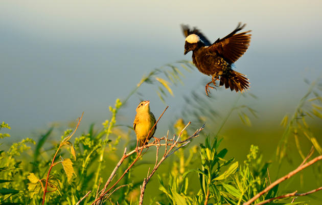 The Bobolink Project