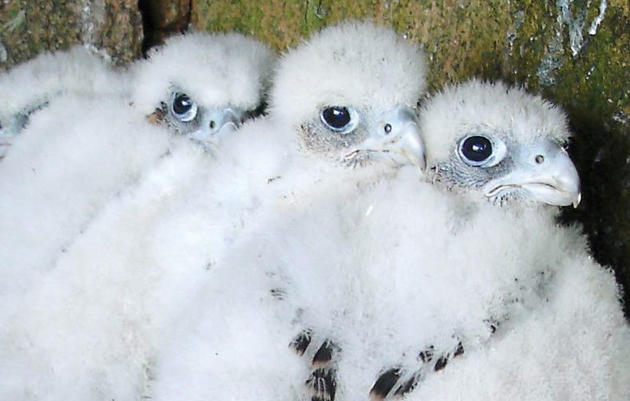 Keeping Peregrines Safe From Their Fan Club