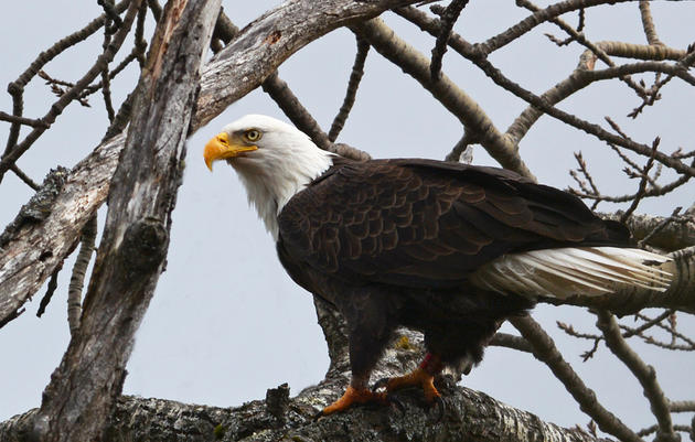 Bald Eagle Recovery in Vermont