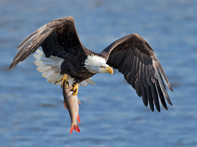 Your Eagle Eyes are Needed to Help With the 2020 Winter Bald Eagle Survey