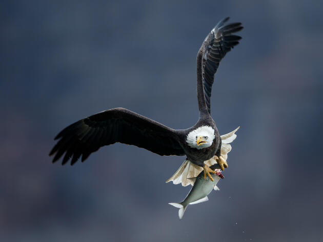 Celebrating the Recovery and Possible Delisting of Bald Eagles in Vermont