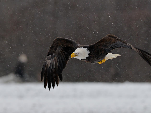 Audubon VT Community Scientists to Help with 2018 Winter Bald Eagle Survey