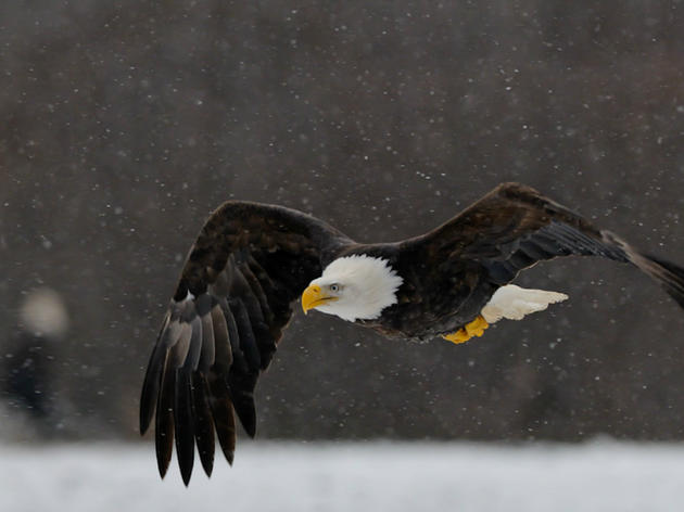 Your Eagle Eyes are Needed to Help With the 2019 Winter Bald Eagle Survey