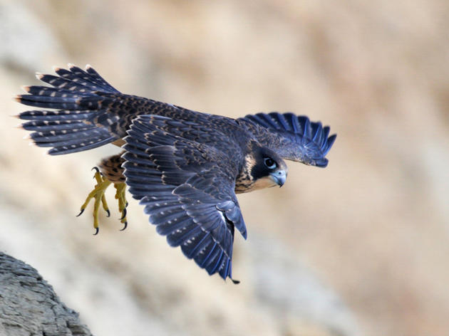 What's it really like to monitor Peregrine Falcons?