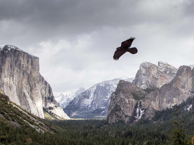 Birding at Home: Common Raven