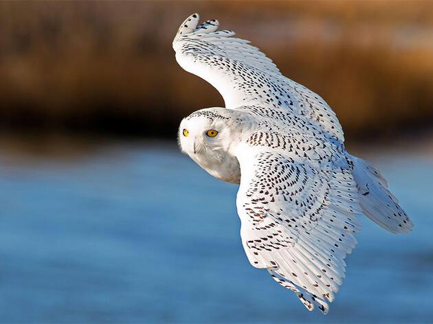 Hold Onto Your Bins: Another Blizzard of Snowy Owls Could Be Coming