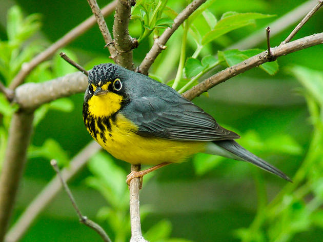 Audubon Vermont speaks out for protecting bird habitat