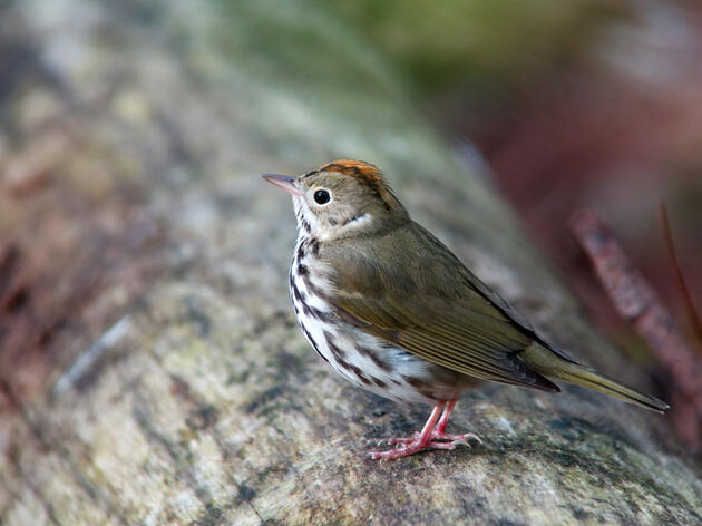 Birds of the Sugarbush: the Ovenbird