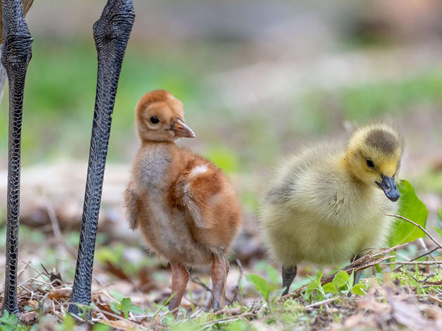This Sandhill Crane Couple Adopted a Baby Goose