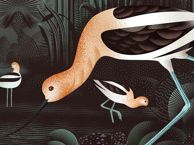Reimagining the American Avocet