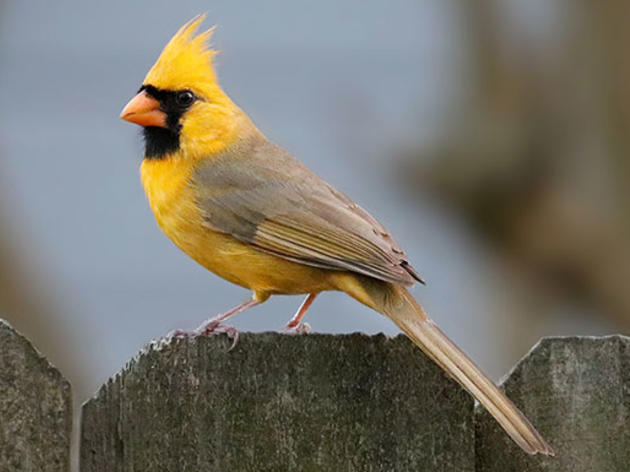 Why Is This Northern Cardinal Yellow?