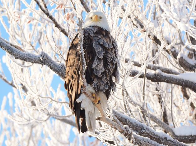 Your Eagle Eyes are Needed to Help with the 2021 Winter Bald Eagle Survey