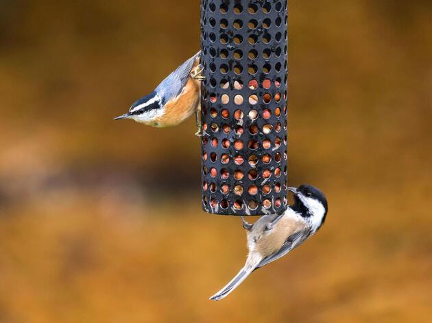 Birding at Home: The Chickadee Crew