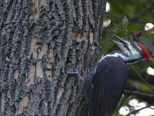Allies in the War on Emerald Ash Borer