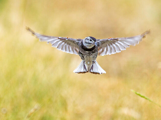 The McCown's Longspur Is No More, but the Debate Over Bird Names Continues
