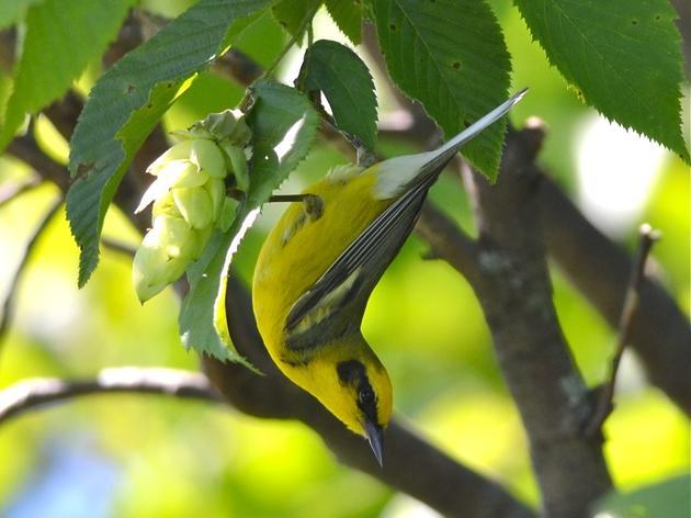 Additional Resources - Champlain Valley Bird Initiative