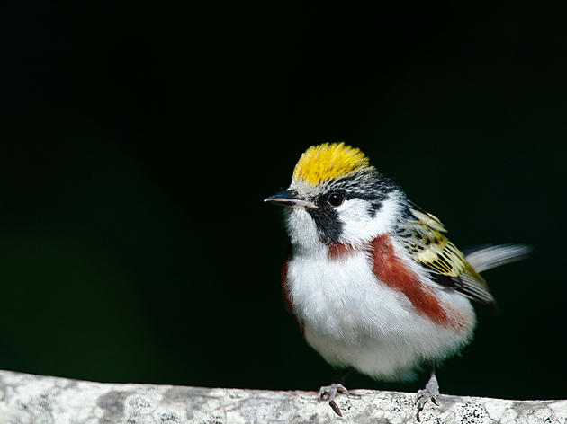 Conserving Vermont's birds in a warming world
