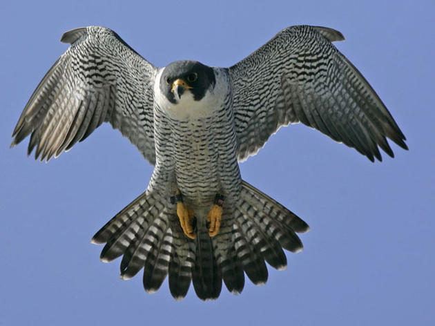 Several Vermont Peregrine Falcon Nesting Cliffs are Closed to Hiking and Climbing