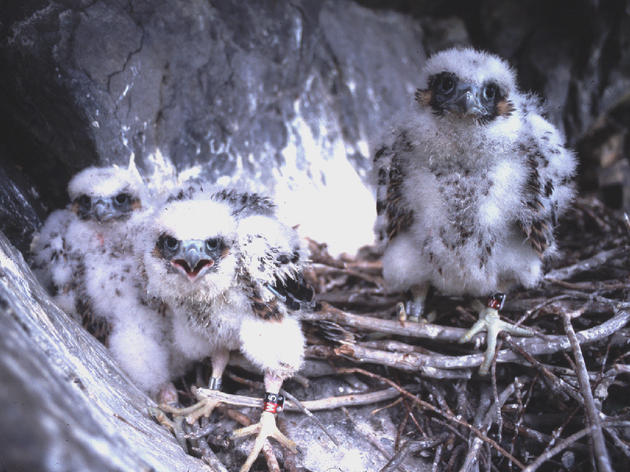 Vermont Peregrine Falcons Break Population Record