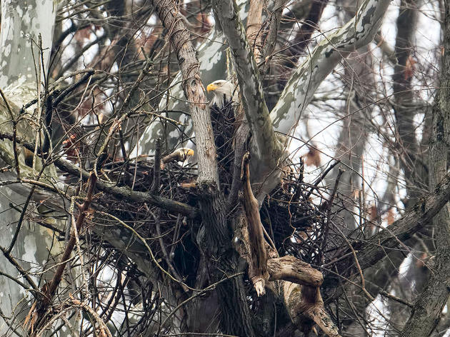 Pittsburgh's Famous Bald Eagles Lost Their Nest Tree, But They Aren't Giving Up