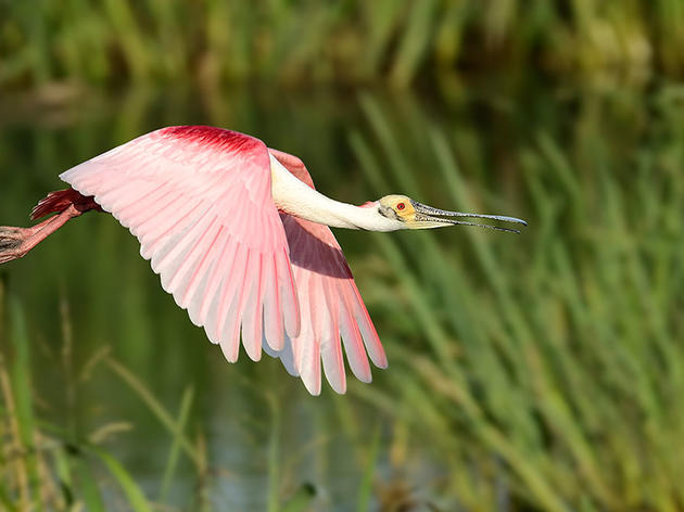 John Oliver Hits the Roseate Spoonbill Where It Hurts