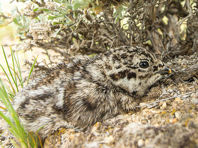 Proposed Wyoming Bill Allowing Sage-Grouse Captive Rearing Is Deeply Flawed