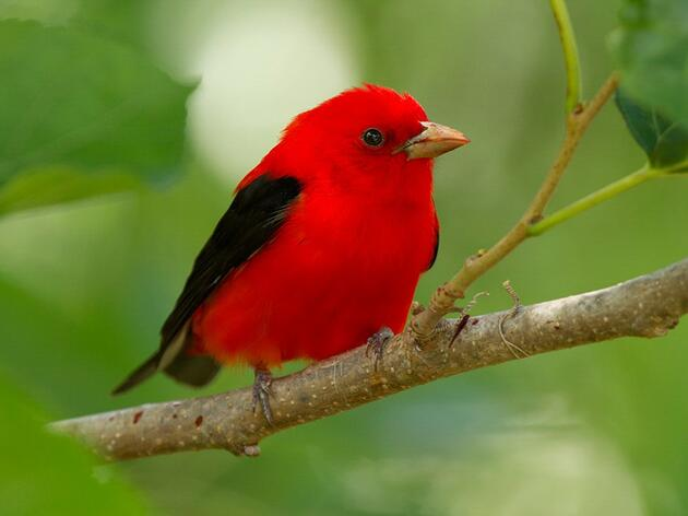 Birds of the Sugarbush: Scarlet Tanager