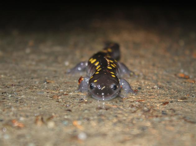 Why Did the Salamander Cross the Road? (and How You Can Help)