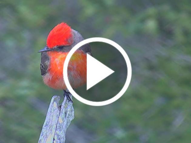Maine's First Verified Vermilion Flycatcher Captured Live on Hog Island Web Cam