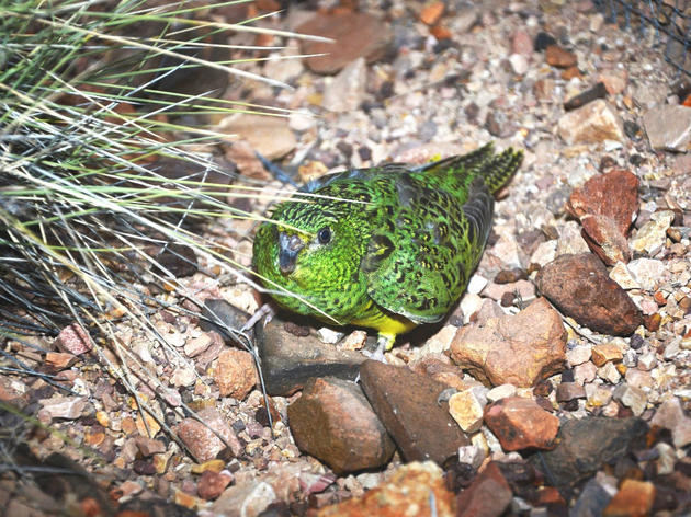 Yes! More Australian Night Parrots Have Been Discovered