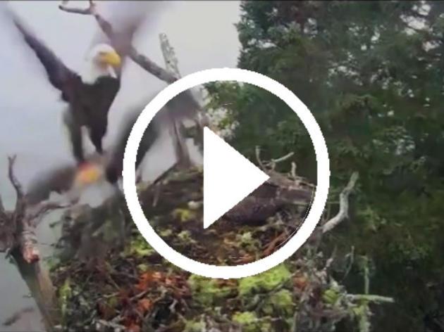 Este inusual video de un Águila Cabeza Blanca saqueando un nido de Águilas Pescadoras es un despliegue increíble de velocidad y fuerza